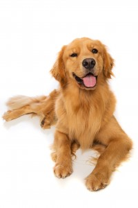 GoldenRetriever