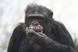 Maynard, who had a fatal heart attack in the sanctuary the day after he was introduced to a new group of chimpanzees